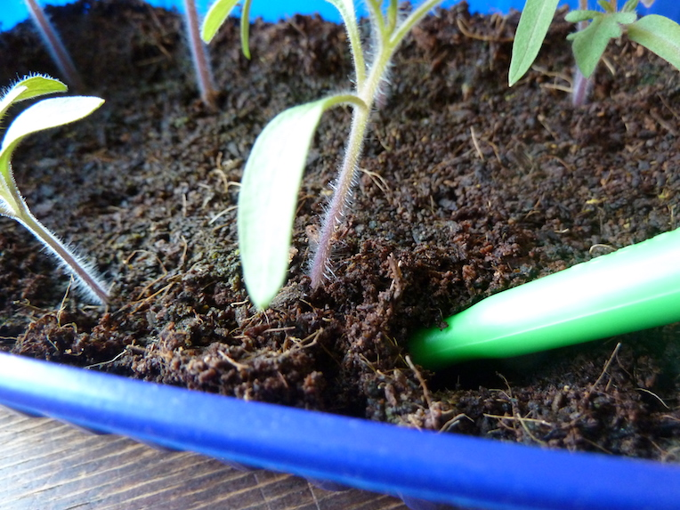 Tomaten Selber Anbauen Pikieren