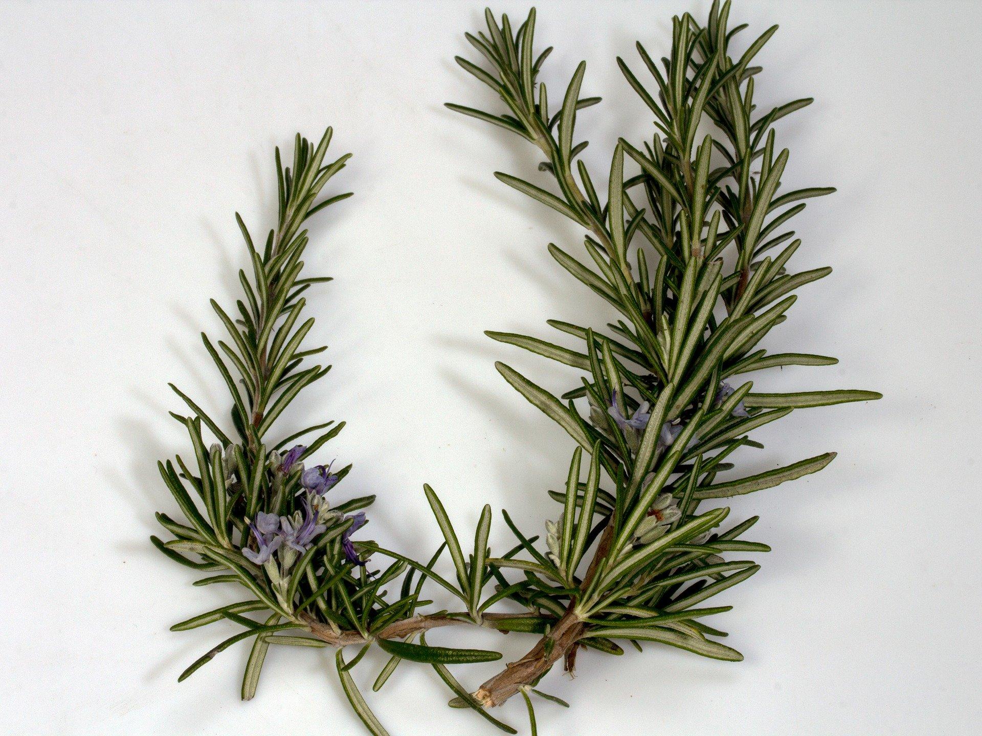 Rosmarin Oder Lavendel Durch Stecklinge Vermehren
