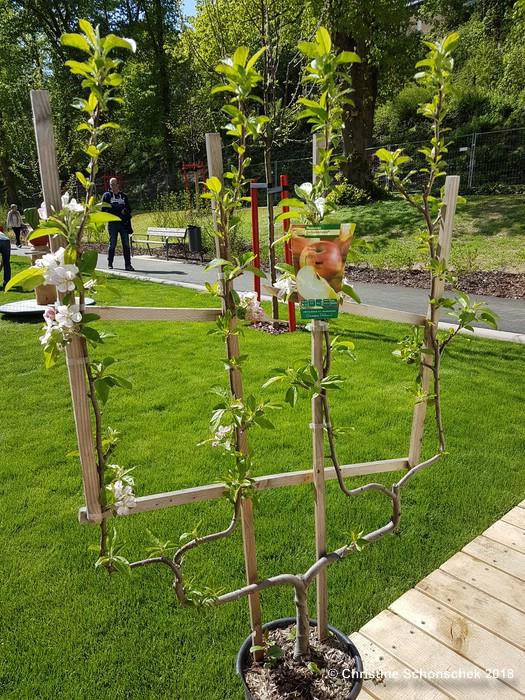 Spalierobst, Apfelbaum, platzsparend gärtnern,