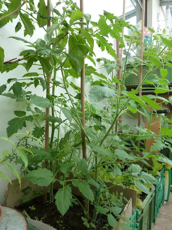 Tomatenpflanzen in Kisten