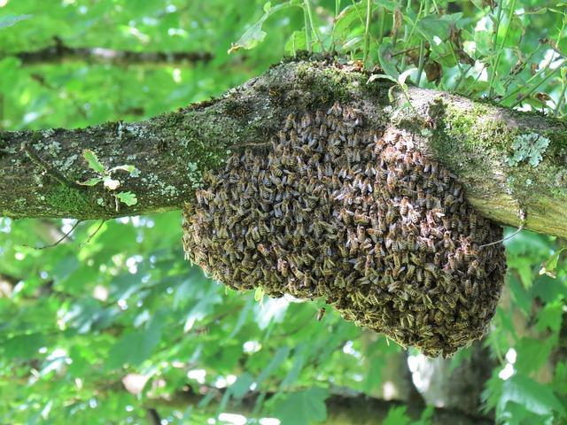 Bienenschwarm – Foto © Pixabay