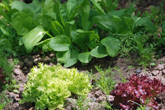 Salate und Spinat