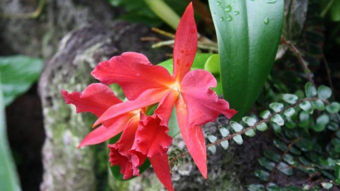 Die Sonnenhungrigen unter den Orchideen, wie diese Cattleya, können ab Mitte September wieder an einen Platz mit direkter Sonne. Foto: J. Klepgen / www.orchideenfans.de