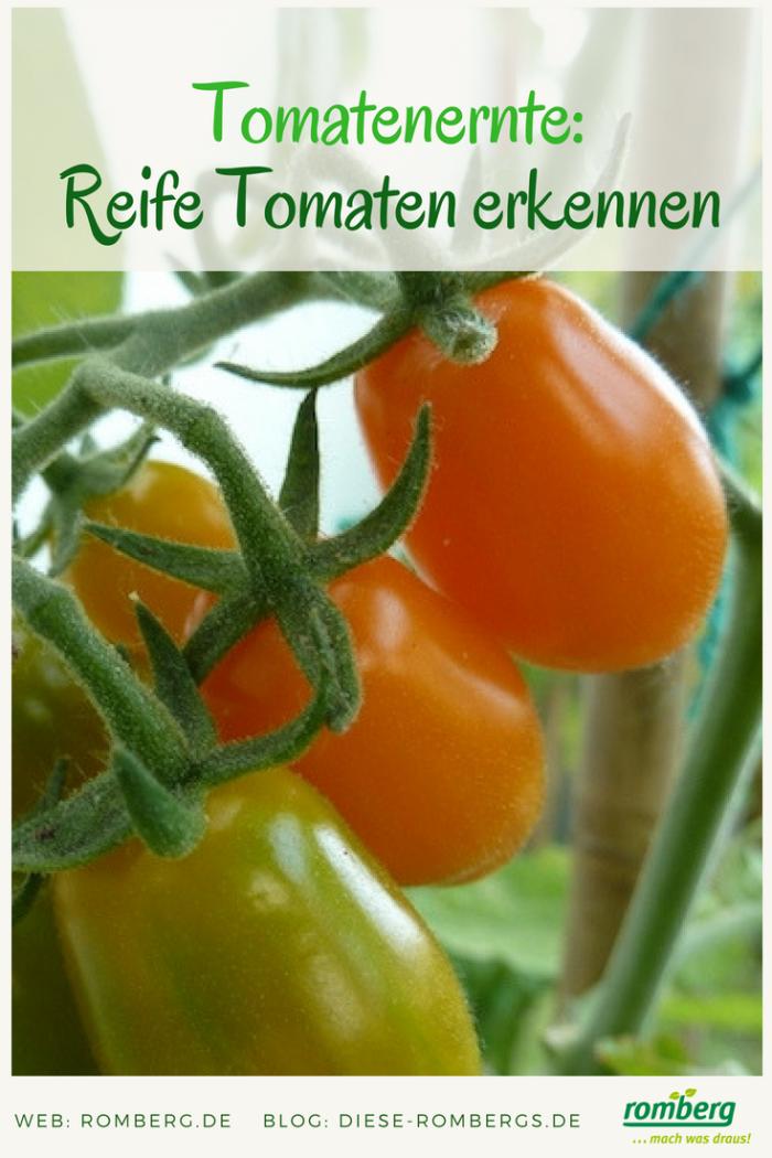 Melanie_Tomaten-ernten