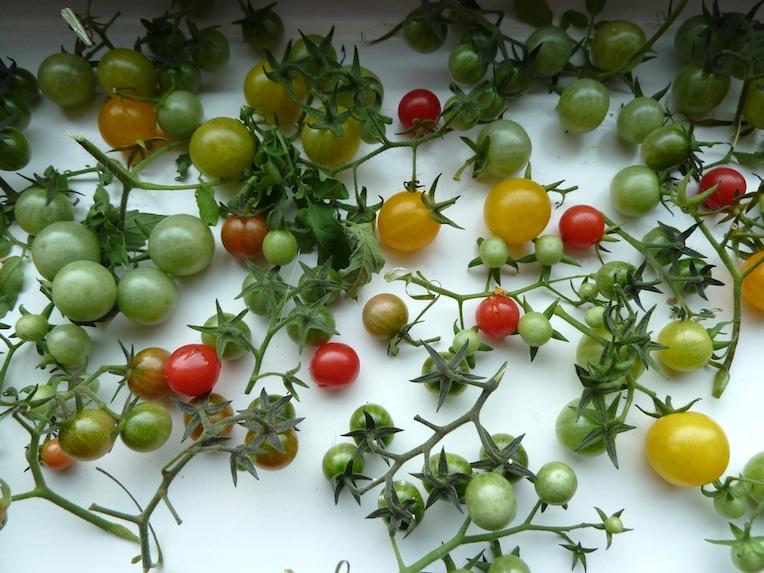 tomaten selber anbauen tomaten nachreifen lassen