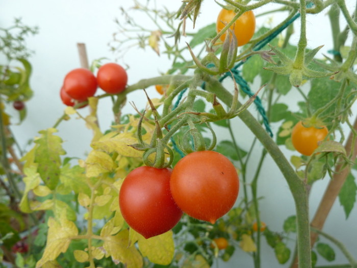 Tomaten Ruthje und Wildtomate