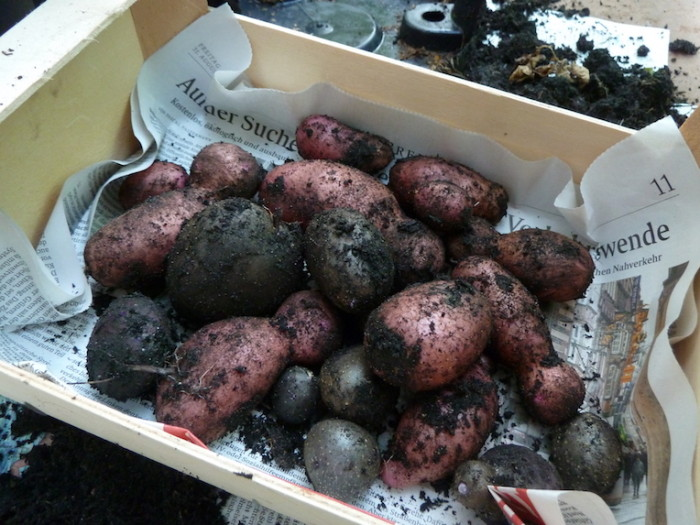 Kartoffelernte in einer Kiste: Rote Emmalie und Blaue Anneliese.