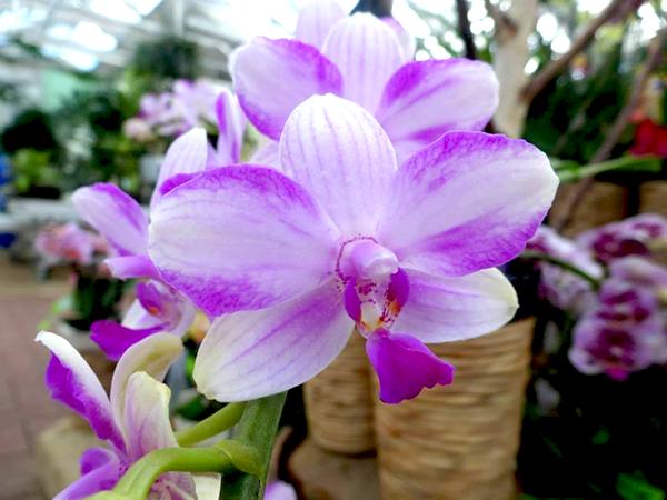 Phalaenopsis-Mozart b