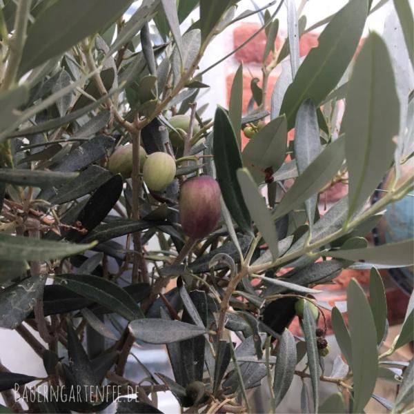Oliven mit unterschiedlichem Reifegrad an meinem Baum. Foto: Petra A. Bauer 2018.