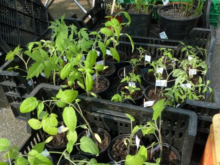 Auf Pflanzenflohmärkten und im Handel kannst du Jungpflanzen kaufen. © Melanie Öhlenbach / Kistengrün