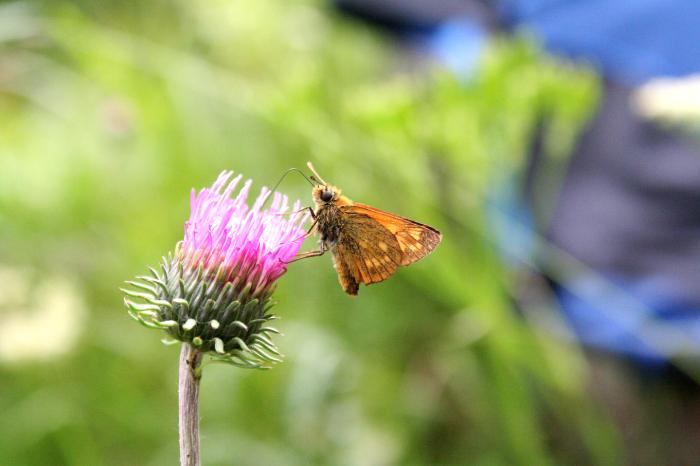 Wildblumen im Garten sehen nicht nur schön aus, sondern bieten Insekten eine Nahrungsgrundlage Foto: © Ursula Bauer