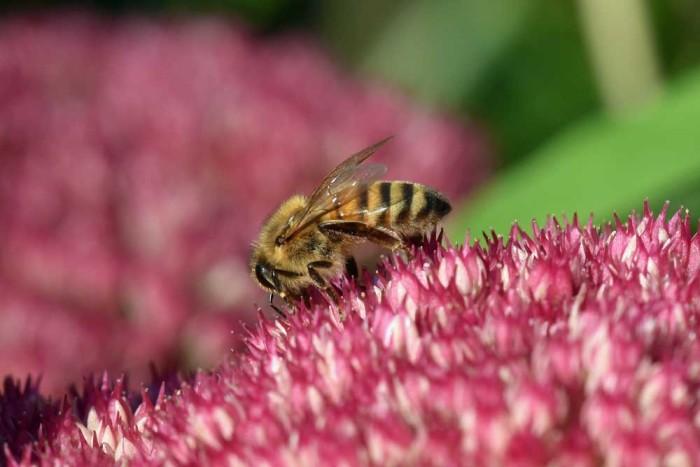 Honigbiene in meinem Garten