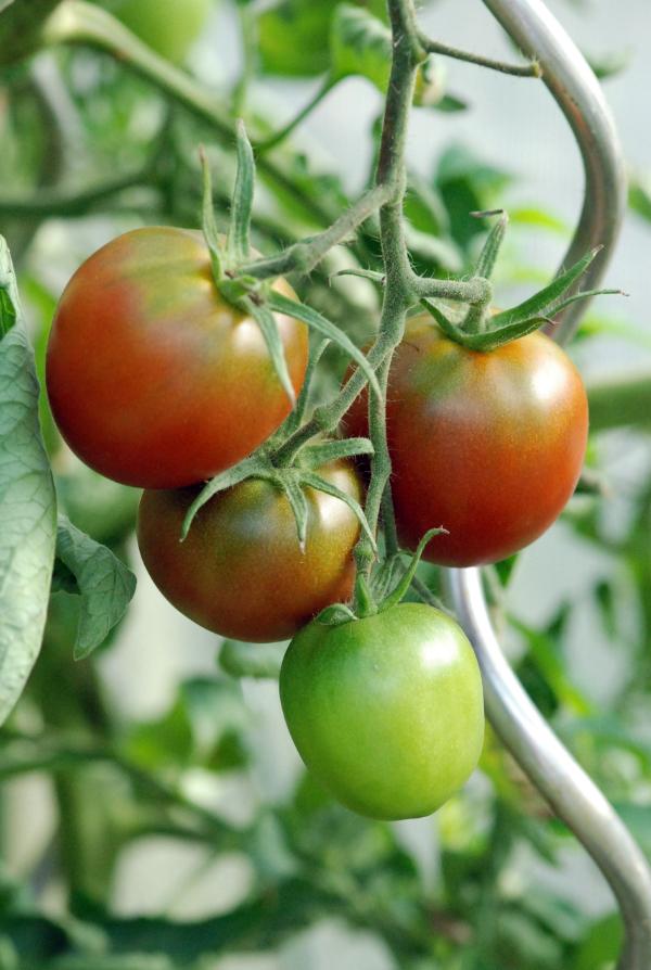Diese Tomaten sind fast reif – © Malgorzata Ackermann