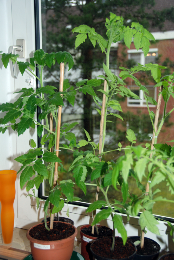 Selbst vogezoge Tomatenpflanzen – © Malgorzata Ackermann